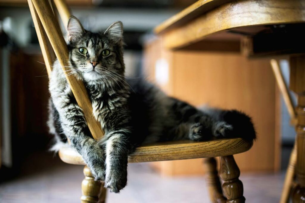 Cat lies on a kitchen chair