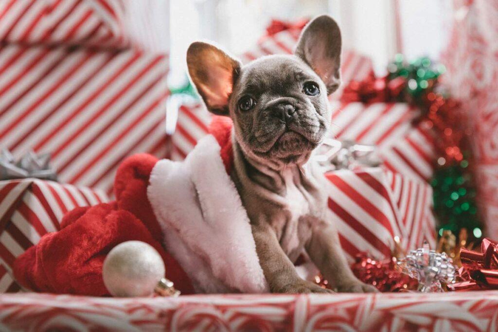 Ein Hund in Weihnachtskleidung sitzt auf rote Geschenke.